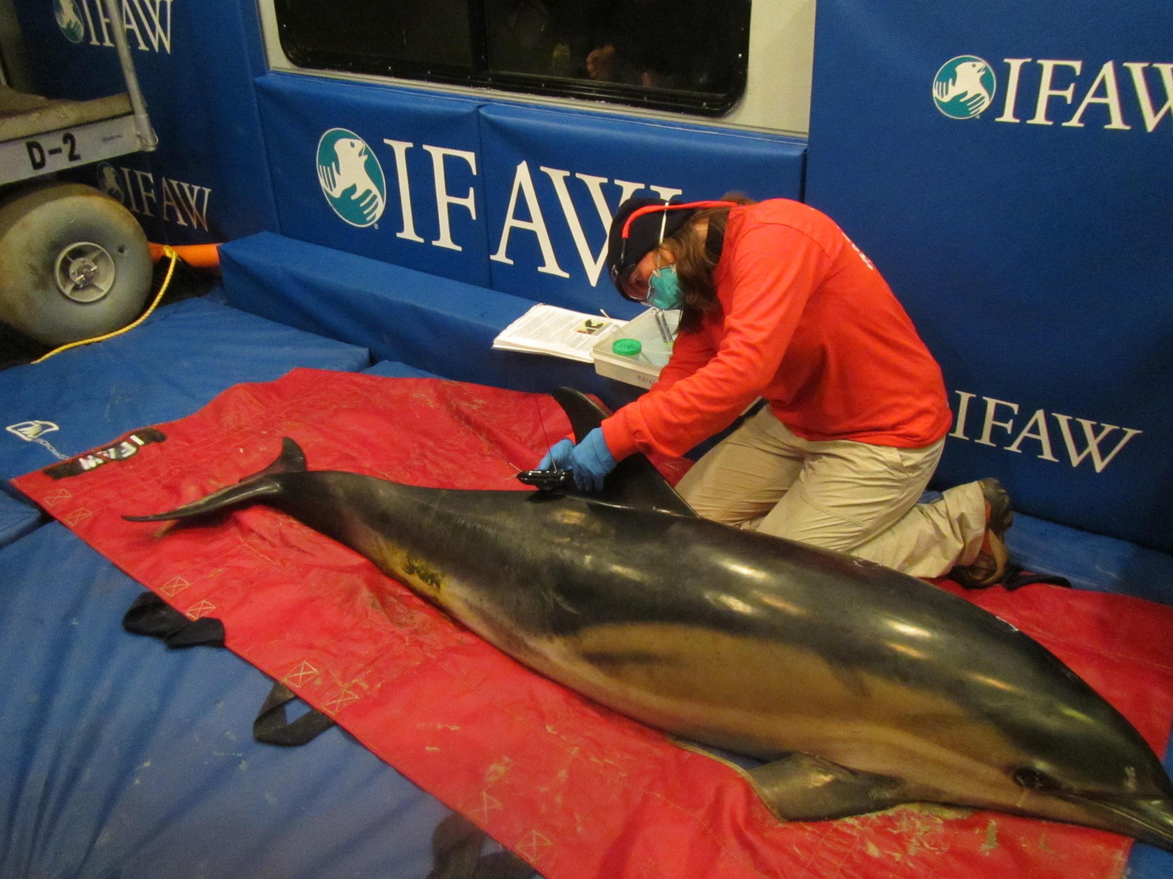 pourtant pas vulgaire rencontrer nouvelles variétés Cape Cod Dolphin Stranding Season Keeps Rescuers Busy   WCAI