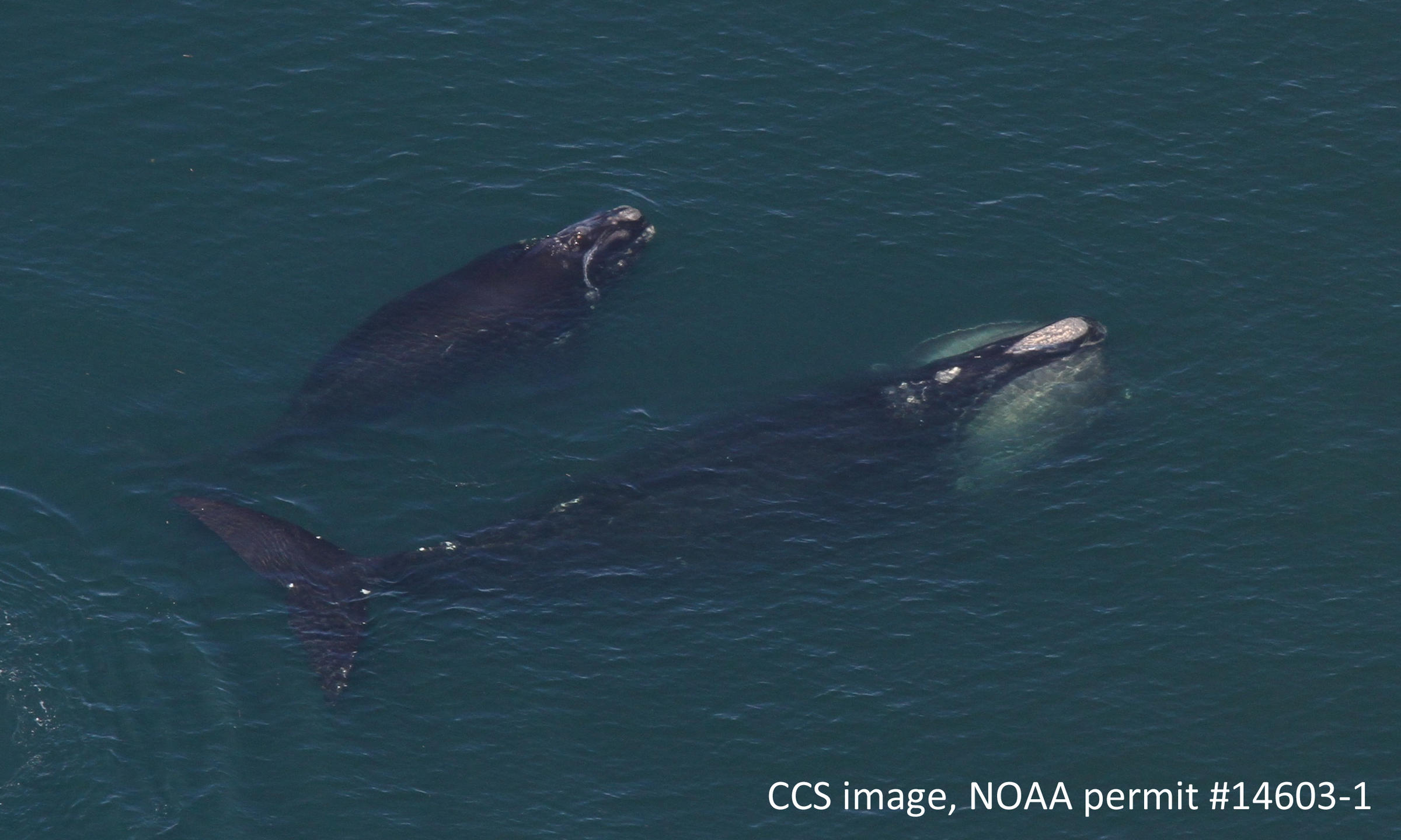 Five dead endangered right whales found in Canadian waters