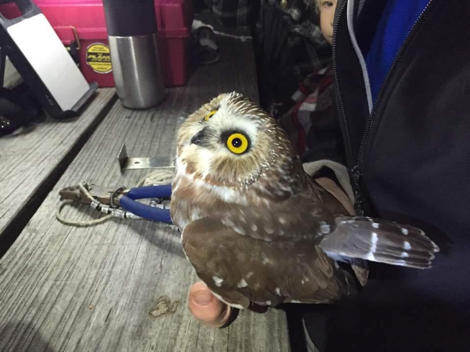 The Lure Of The Saw-Whet Owl | 90 5 WESA