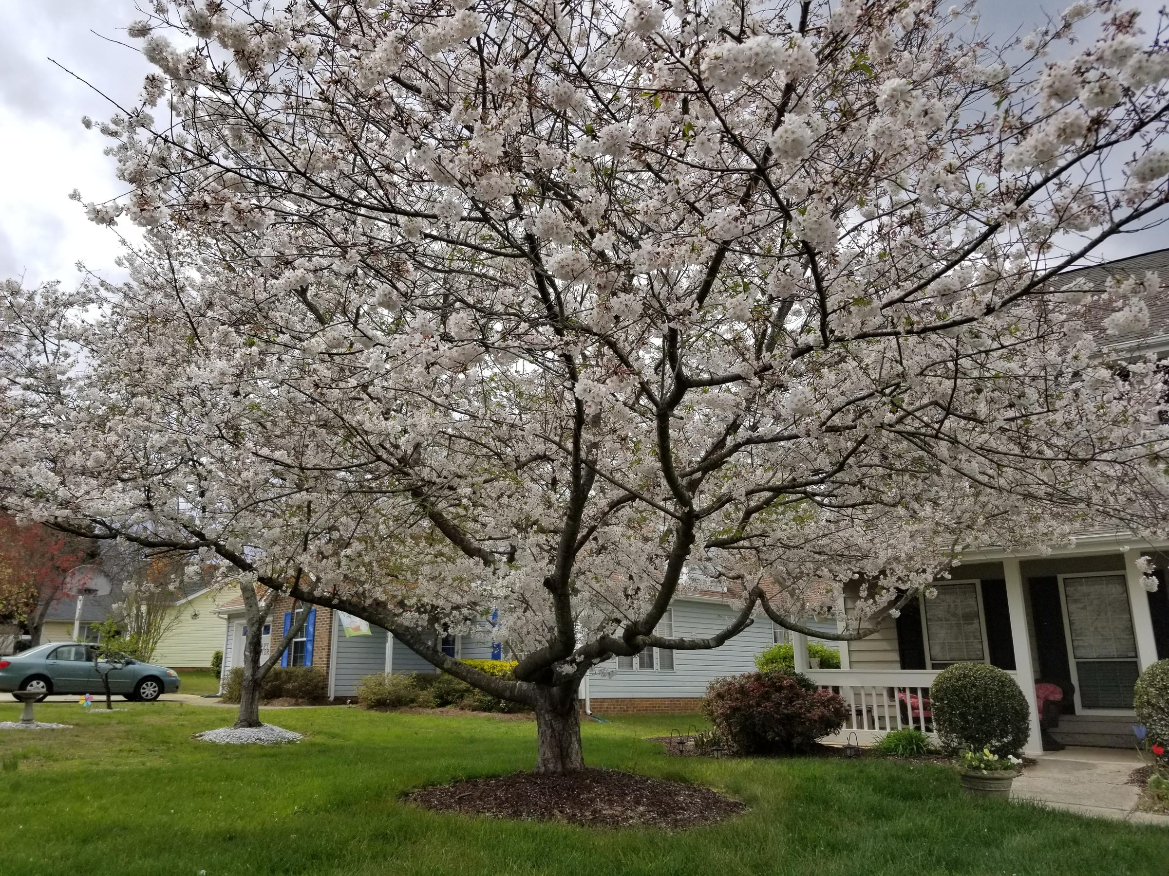 In A City Of Trees This Japanese Cherry Is Prize Worthy Wfae