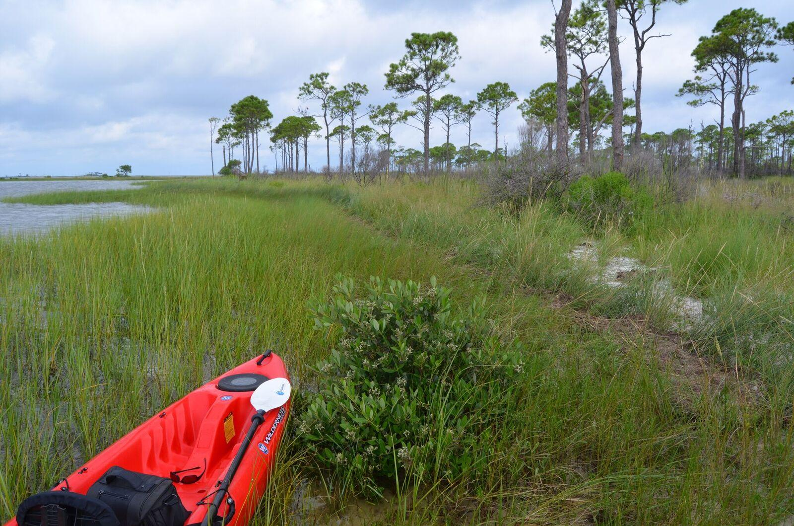 A Mangrove Sprouting Among Marsh Gres Off The Coast Of Florida Panhandle