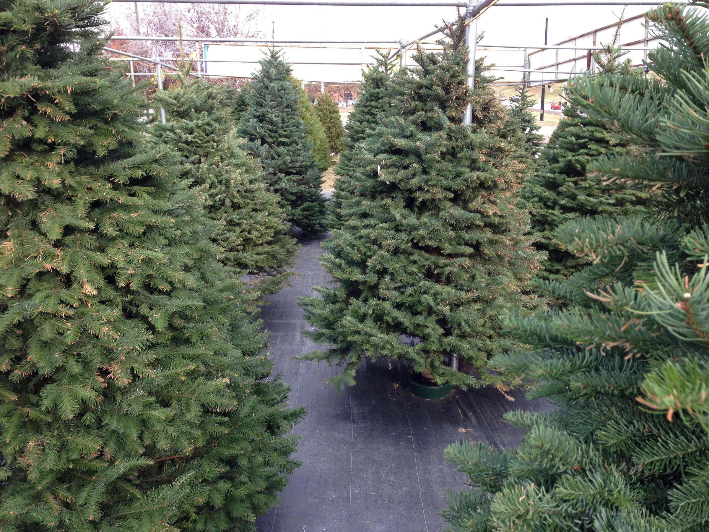 How Long Does It Take A Christmas Tree To Grow.Glt S Grow Best Christmas Tree Picks Wglt