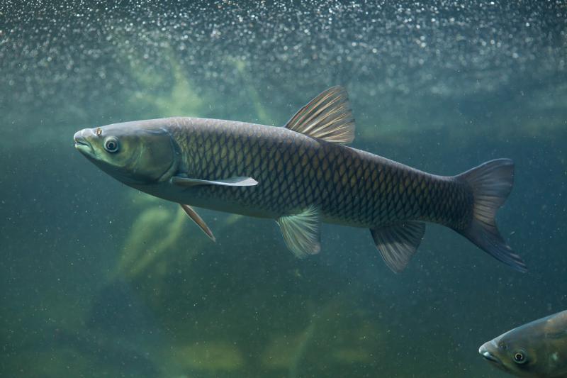 photo of grass carp
