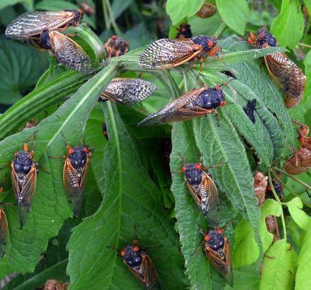 2016's Cicada Swarm Coincides With The Emergence Of Citizen
