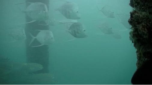 A School Of Fish Swim Underneath The Deerfield Beach Pier In Front Webcam On Wednesday