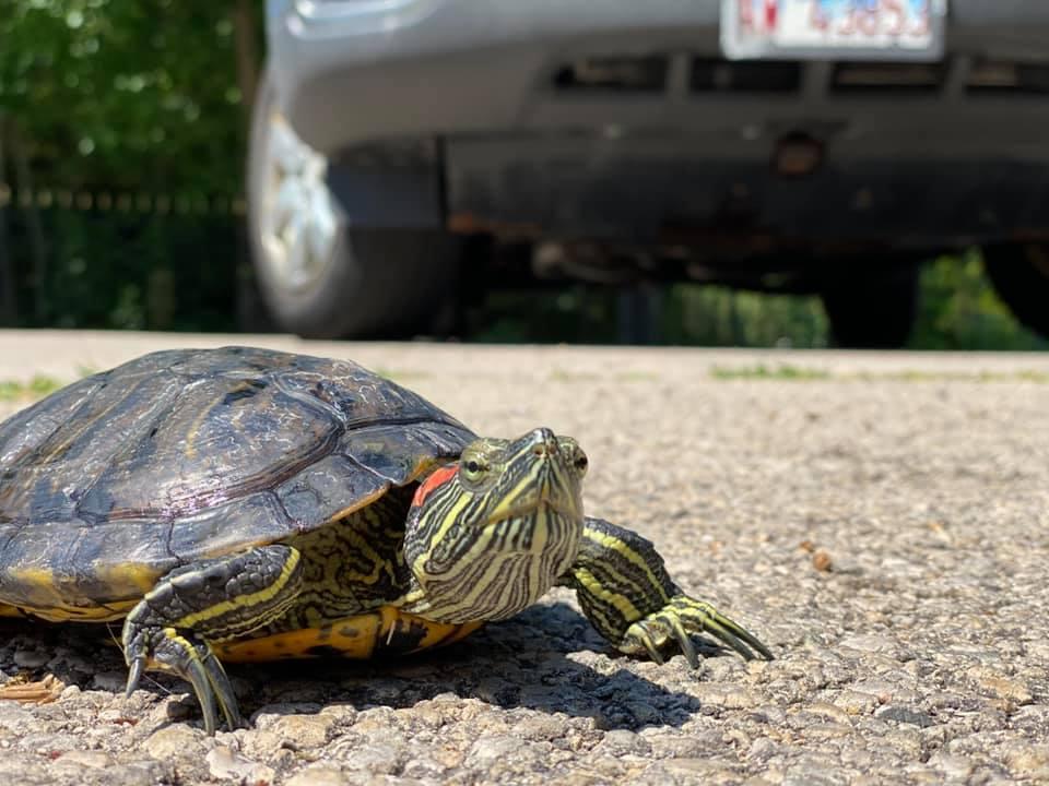 Why Did The Turtle Cross The Road Wnij And Wniu