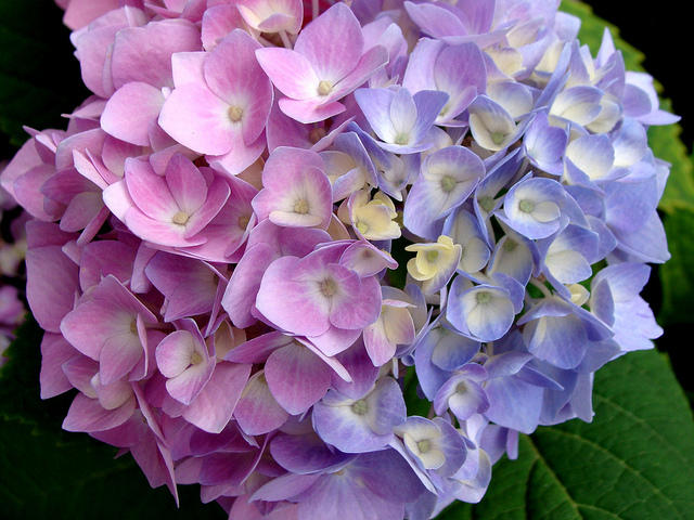 Aside From The Traditional Powder Blue Hydrangea Bushes Can Range Light Pink To Deep Purple