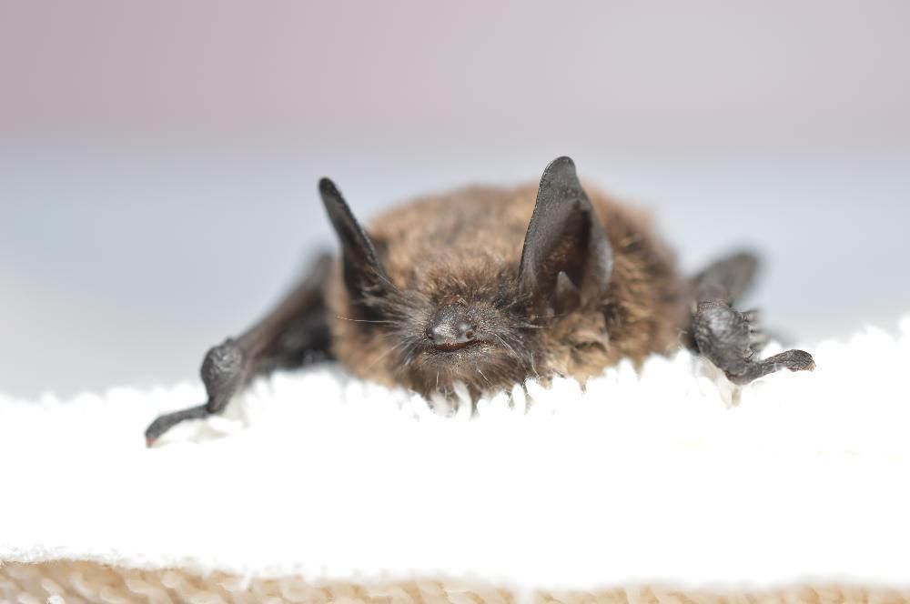 A Little Brown Bat Confirmed To Have White Nose Syndrome