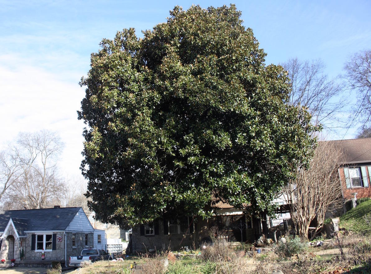 Curious Nashville A Question About Magnolia Trees Can Tell You A