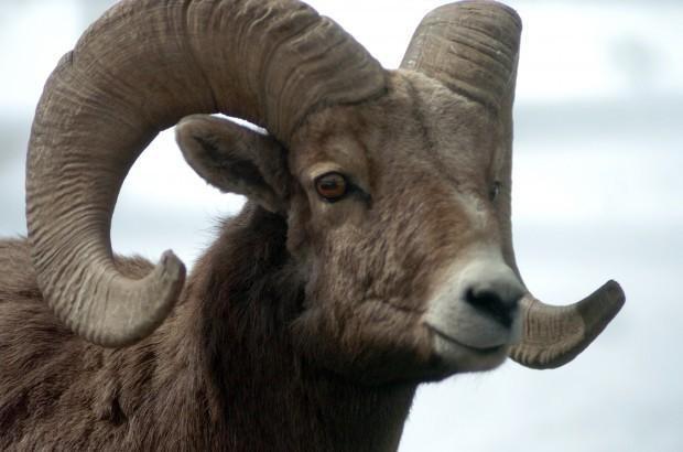 Bighorn sheep near Jackson at risk of fatal pneumonia