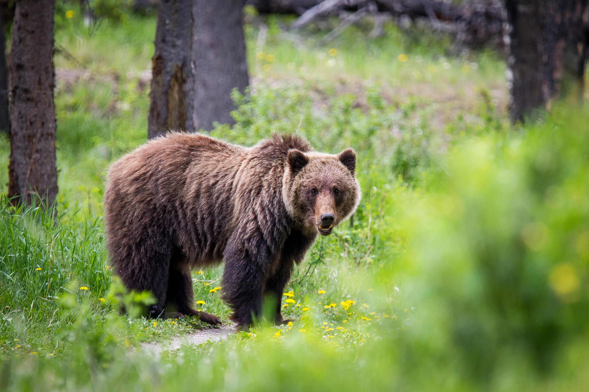 Groups Challenge New Wyoming Law That Could Allow Grizzly