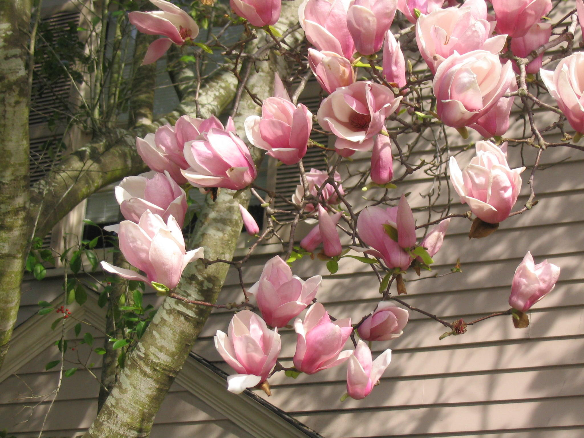 Japanese Magnolia Blooms Indicate Spring Is Coming Wrkf