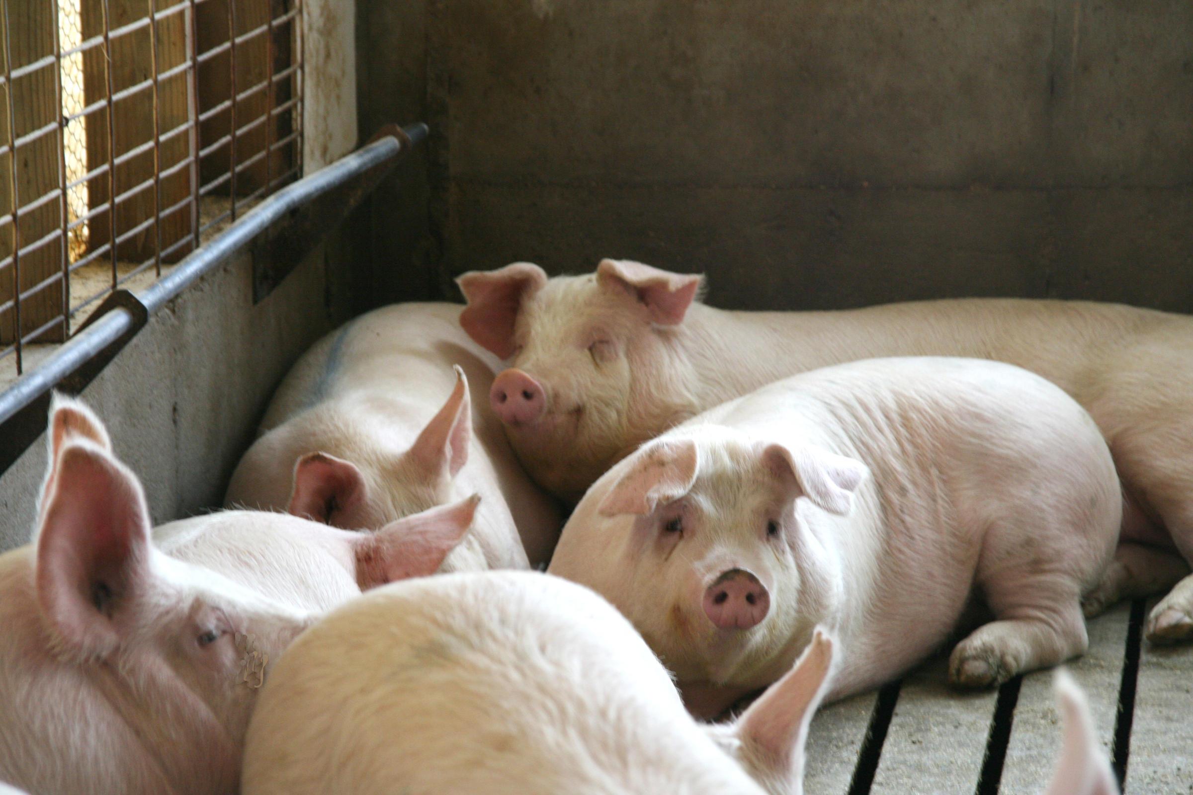 Illinois Issues: Big Swine Operations Put Residents, Pig